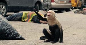 Ampersand - Yorick's Capuchin monkey